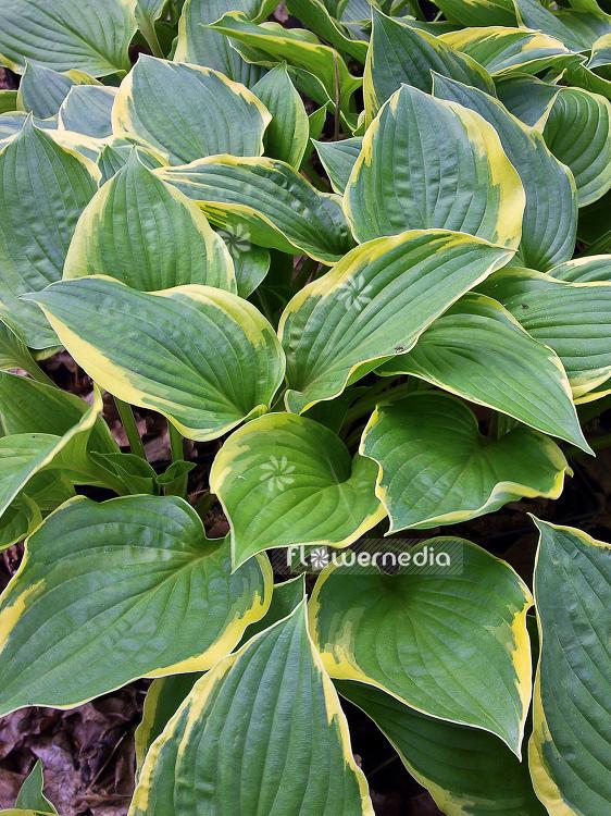 Hosta Fortunei Var Aureomarginata Plantain Lily 107864
