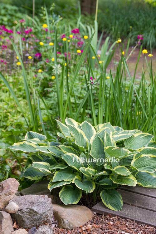 Hosta Fortunei Var Aureomarginata Plantain Lily 107865