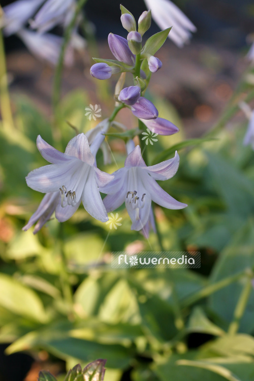 Hosta Fragrant Blue Plantain Lily 103705 Flowermedia