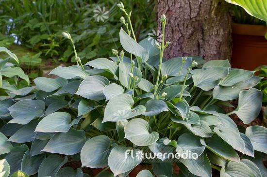 Hosta Pacific Blue Edger Plantain Lily 107924 Flowermedia