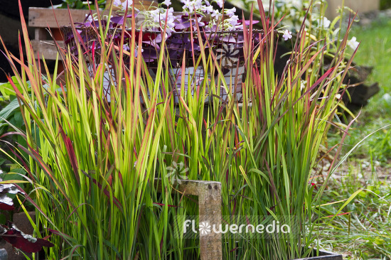 Imperata cylindrica 'Rubra' - Japanese blood grass (103760)