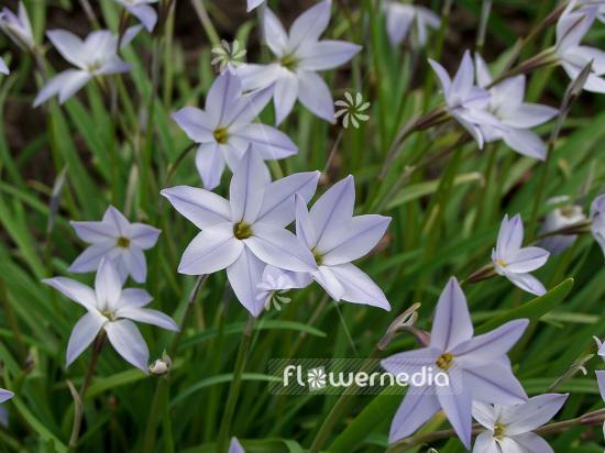Ipheion Unifolium Spring Starflower 101127 Flowermedia