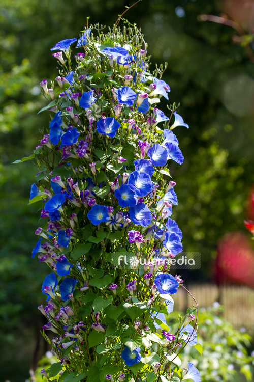 Ipomoea tricolor - Mexican morning glory (110636)