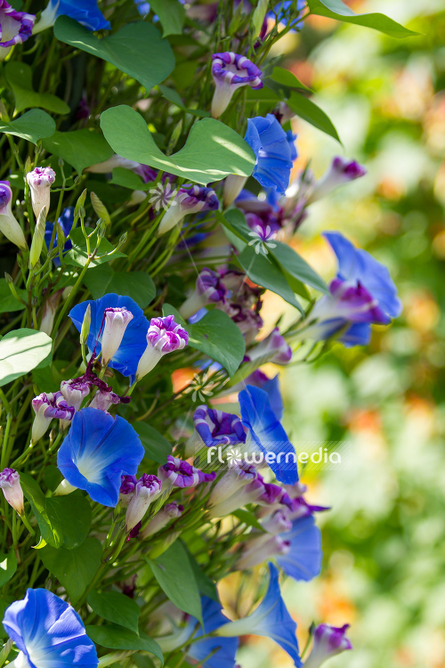 Ipomoea tricolor - Mexican morning glory (110637)