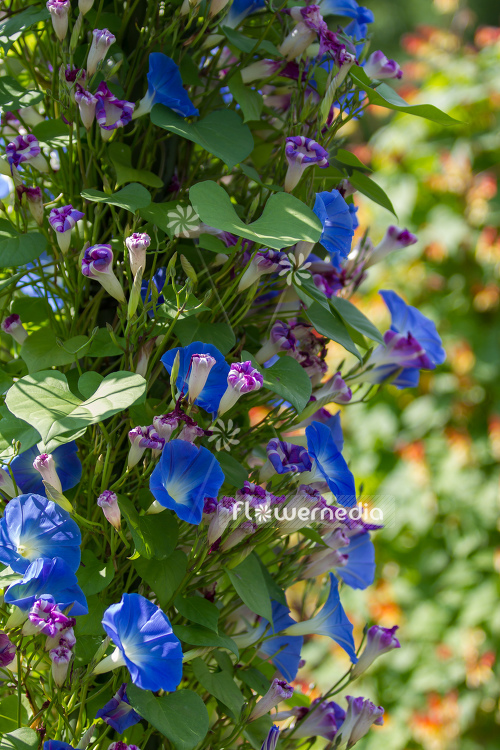 Ipomoea tricolor - Mexican morning glory (110638)
