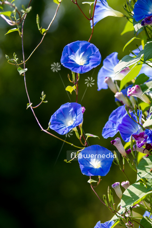 Ipomoea tricolor - Mexican morning glory (110639)