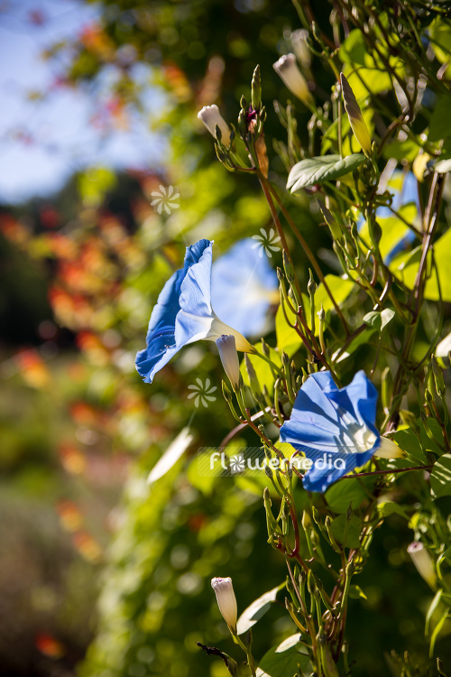 Ipomoea tricolor - Mexican morning glory (110640)