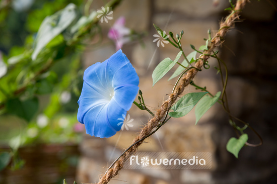 Ipomoea tricolor 'Heavenly Blue' - Mexican morning glory (110641)