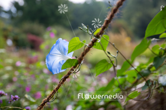 Ipomoea tricolor 'Heavenly Blue' - Mexican morning glory (110642)