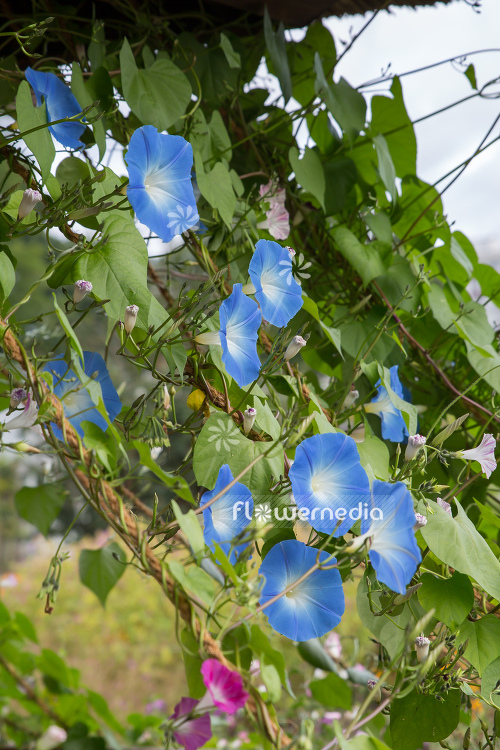 Ipomoea tricolor 'Heavenly Blue' - Mexican morning glory (110643)