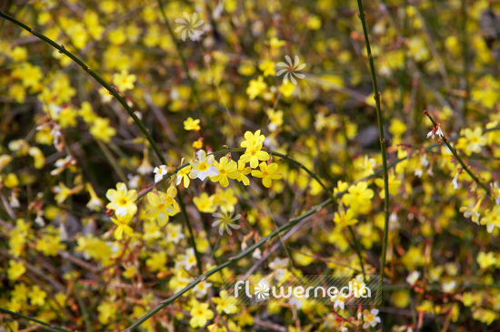 Jasminum nudiflorum - Winter jasmine (110884)