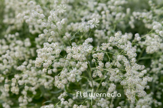 Lepidium latifolium - Broadleaved pepperweed (111735)
