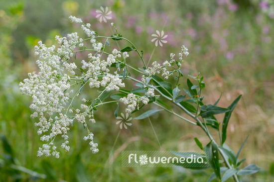 Lepidium latifolium - Broadleaved pepperweed (111736)