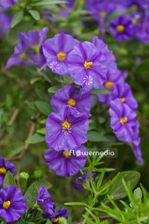 Lycianthes rantonnetii - Blue potato bush (104006)