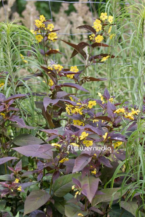 Lysimachia - Plant Index (A-Z) - flowermedia