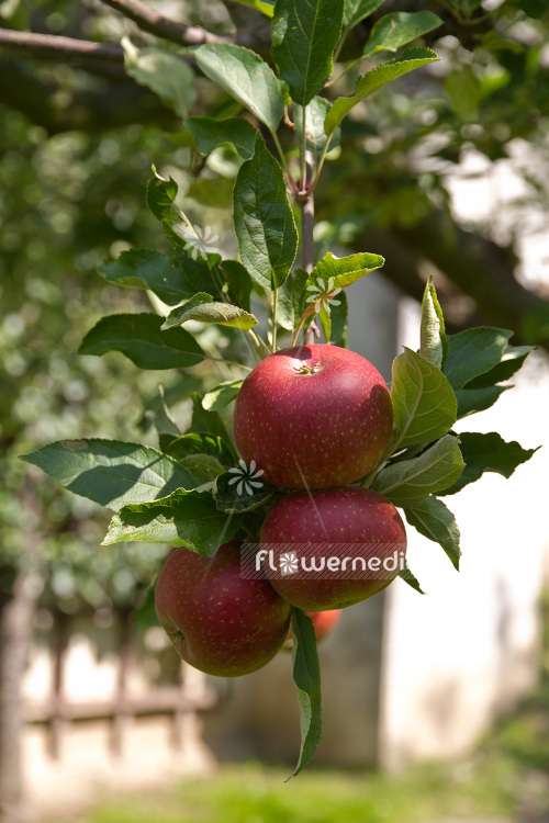 Malus domestica 'Ingrid Marie' - Apple (104022)