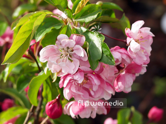 Malus 'Van Eseltine' - Crab apple (101295)