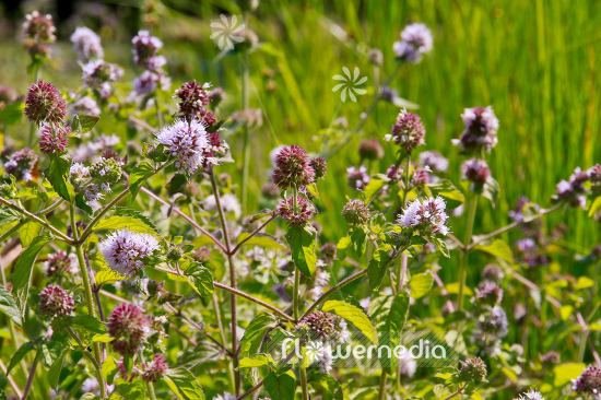 Mentha aquatica - Water mint (110885)