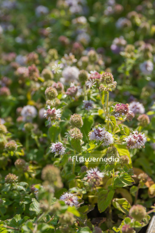 Mentha aquatica - Water mint (110886)