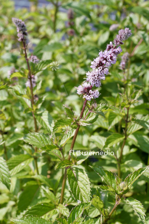 Mentha x piperita f. citrata 'Swiss Ricola' - Swiss mint (104073)