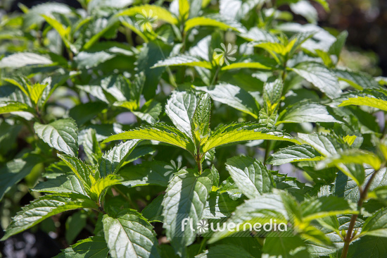 Mentha x piperita f. citrata 'Swiss Ricola' - Swiss mint (110957)
