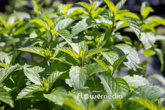 Mentha x piperita f. citrata 'Swiss Ricola' - Swiss mint (110958)