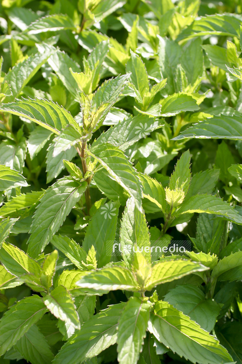 Mentha x piperita f. citrata 'Swiss Ricola' - Swiss mint (110959)