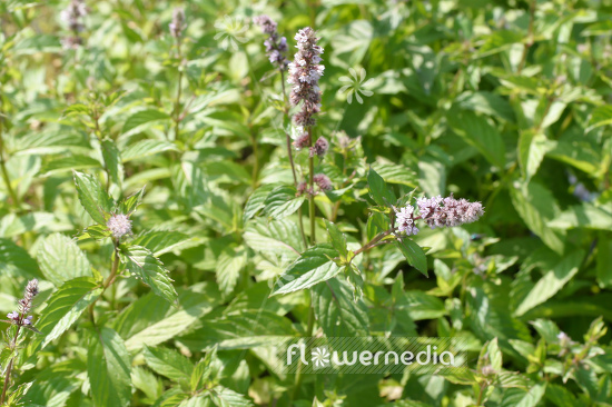Mentha x piperita f. citrata 'Swiss Ricola' - Swiss mint (110960)