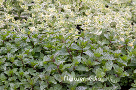 Mentha x piperita 'Multimentha' - Multimentha mint (110961)