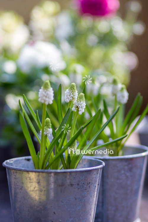 Muscari botryoides 'Album' - Baby's breath (105524)
