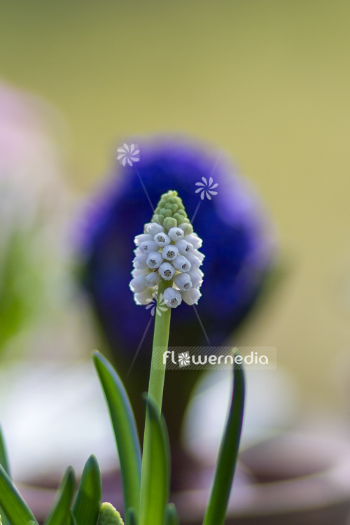Muscari botryoides 'Album' - Baby's breath (105525)