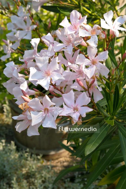 nerium oleander oleander 104149 flowermedia