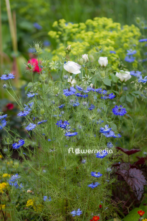 Nigella damascena - Love-in-a-mist (108043)