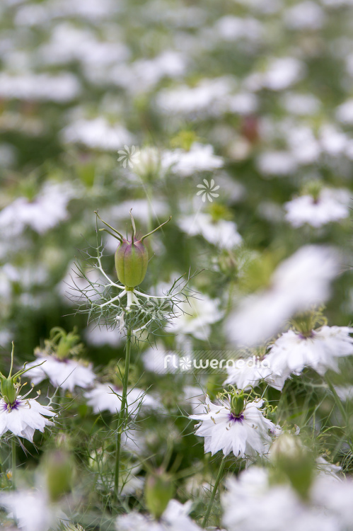 Nigella damascena - Love-in-a-mist (108327)