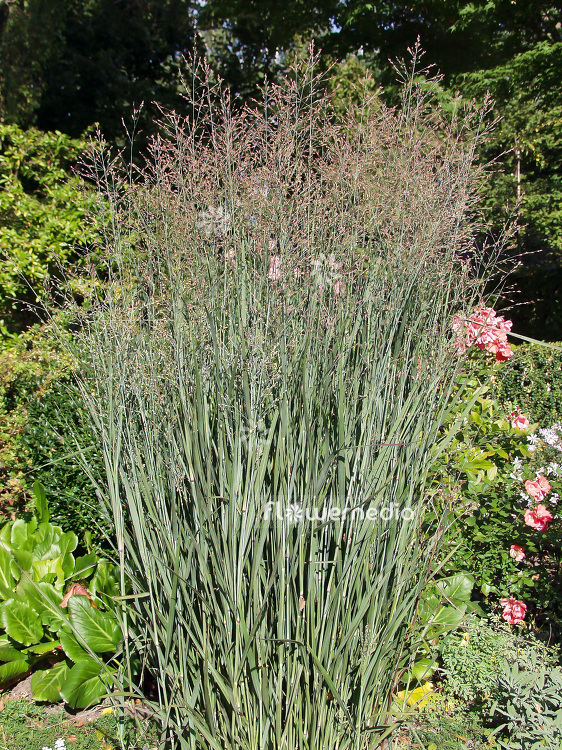 Panicum virgatum 'Heavy Metal' - Switch grass (101410)