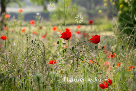 Papaver rhoeas - Common poppy (108403)
