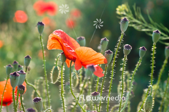 Papaver rhoeas - Common poppy (108404)