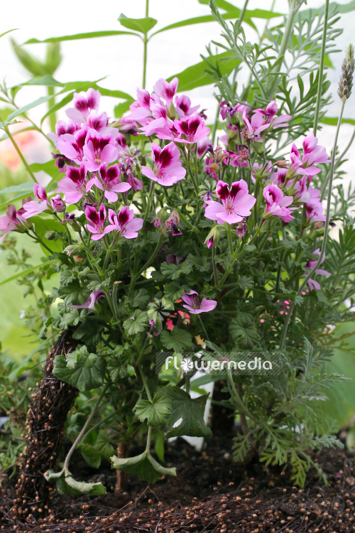 Pelargonium 'Citriodorum' - Lemon-scented geranium (111070)