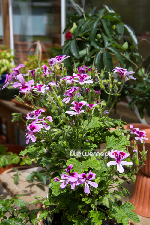 Pelargonium 'Citriodorum' - Lemon-scented geranium (111071)