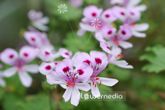 Pelargonium 'Lemon Fancy' - Lemon scented geranium (111110)