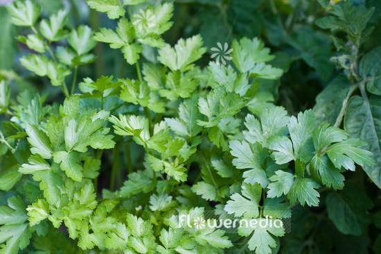 Petroselinum crispum var. neapolitanum - Flat-leaved parsley (104330)