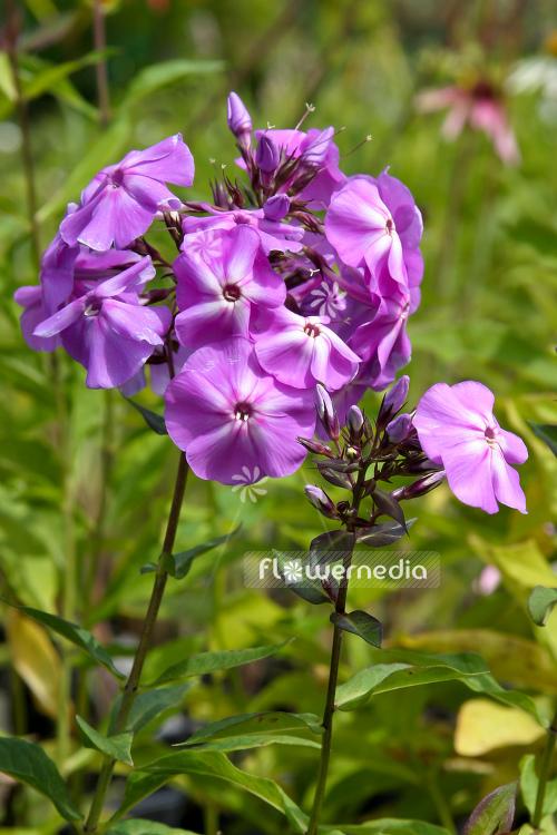 Phlox paniculata blue boy perennial phlox 104349 flowermedia mightylinksfo Image collections