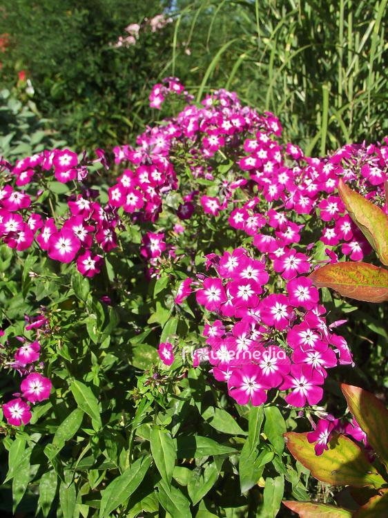 Phlox paniculata wenn schon denn schon perennial phlox 101488 phlox paniculata wenn schon denn schon perennial phlox 101488 flowermedia mightylinksfo