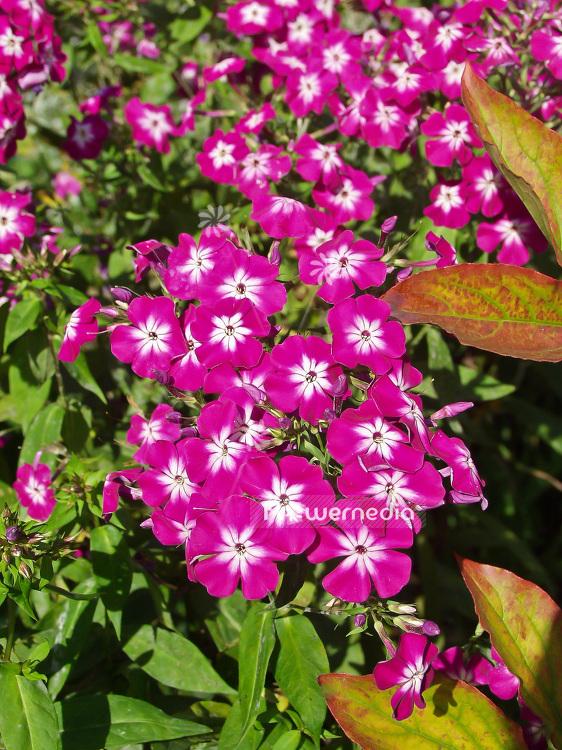 Phlox paniculata wenn schon denn schon perennial phlox 101489 phlox paniculata wenn schon denn schon perennial phlox 101489 flowermedia mightylinksfo