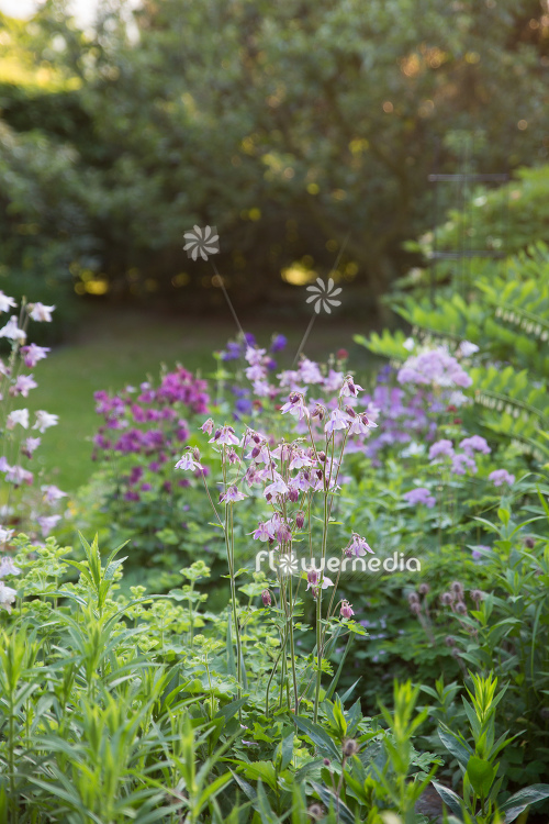 Pink flowering columbines in garden (112771)