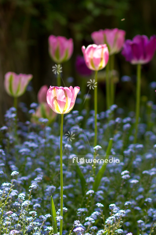 Pink tulips in flower bed. (106278)