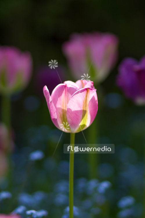 Pink-flowered Tulip (106271)