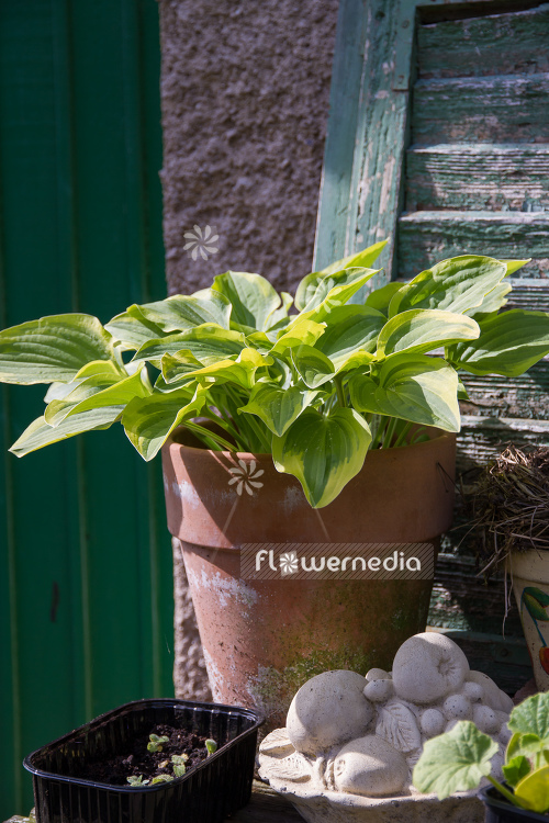 Plantain lilies in pots (107897)