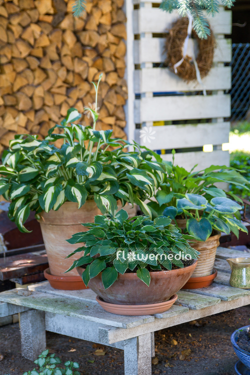 Plantain lilies in pots (108377)