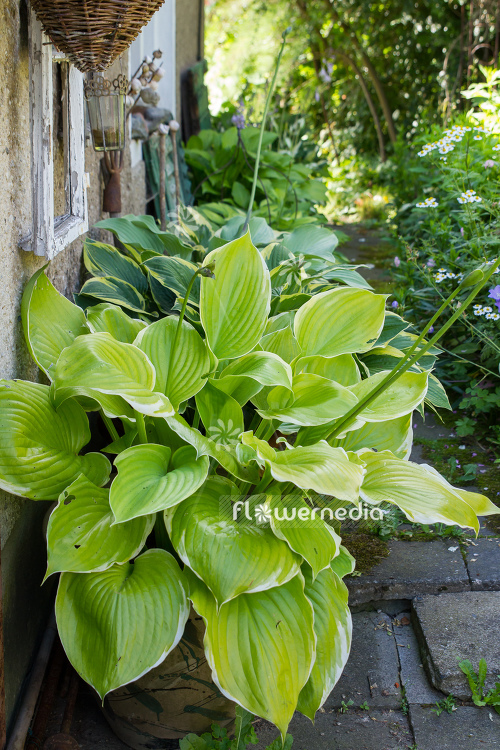Plantain lilies in pots (108380)